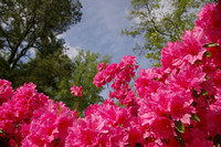 Rhododendrons from Below