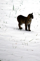 Young Bobcat in the Snow