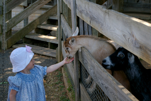 Feeding the Goats