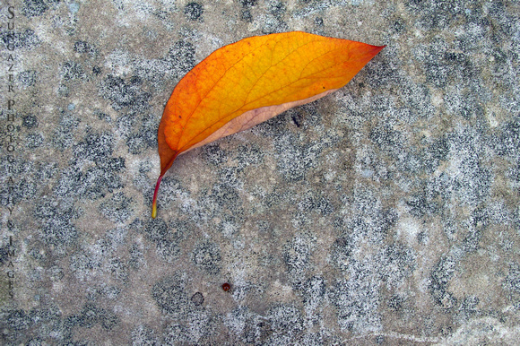 Leaf on Pavement